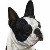 Boston Terrier Dog Photo Gallery