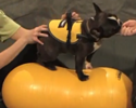 Dog Exercise Balls, Dog Exercise Equipment and Rehabilitation Equipment