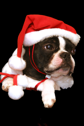 boston terrier dog christmas outfit