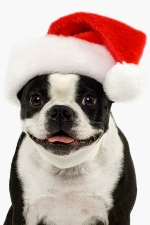 He's ready for Christmas in his Boston Terrier Hat