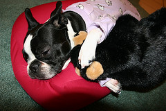 Boston Terrier in his dog bed