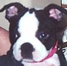Boston Terrier Puppy Care - a Boston pup