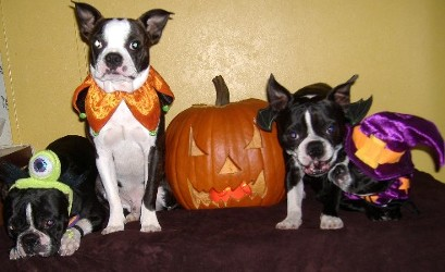 Boston Terrier Dog Halloween Costumes for your special friend!