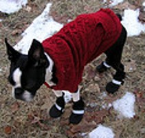 Boston Terrier shoes keep this little guy's feet warm in the winter snow!