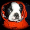 boston terrier dog supplements