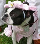 Boston Terrier Clothes - dog dresses