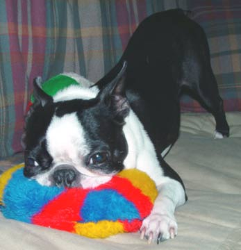 Boston Terrier dog toys