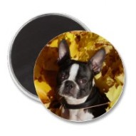 Boston Terrier Surrounded by Fall Leaves Magnet