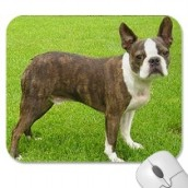 Brown Boston Terrrier Standing Mousepad